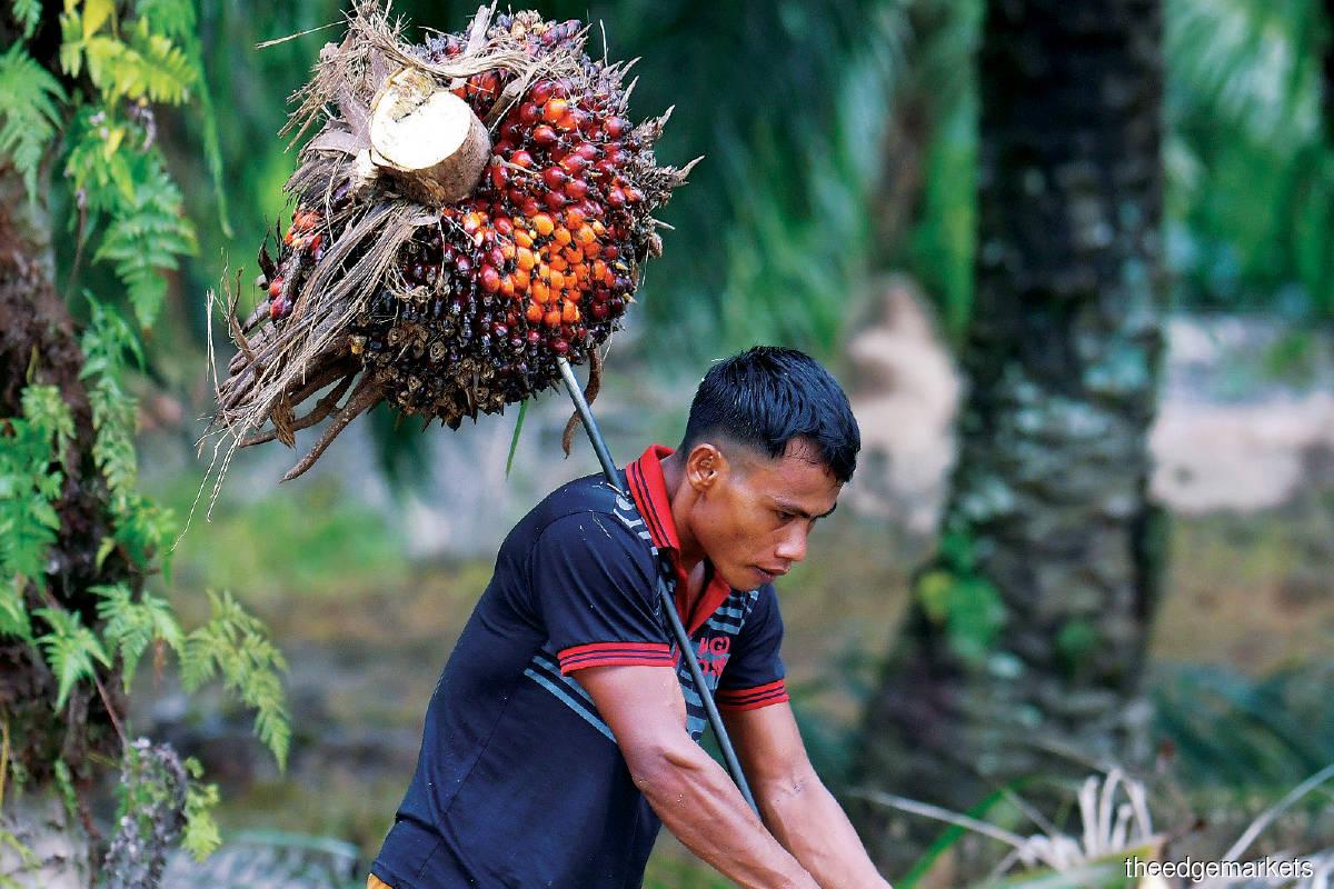 Undervaluation fuels share buybacks among plantation stocks