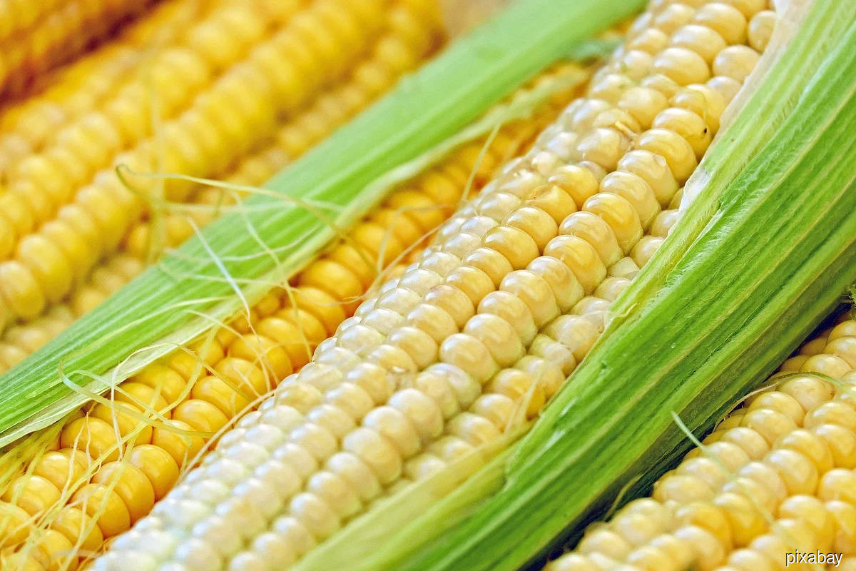 Corn, soy climb to multi-year highs on tight supplies, weather woes