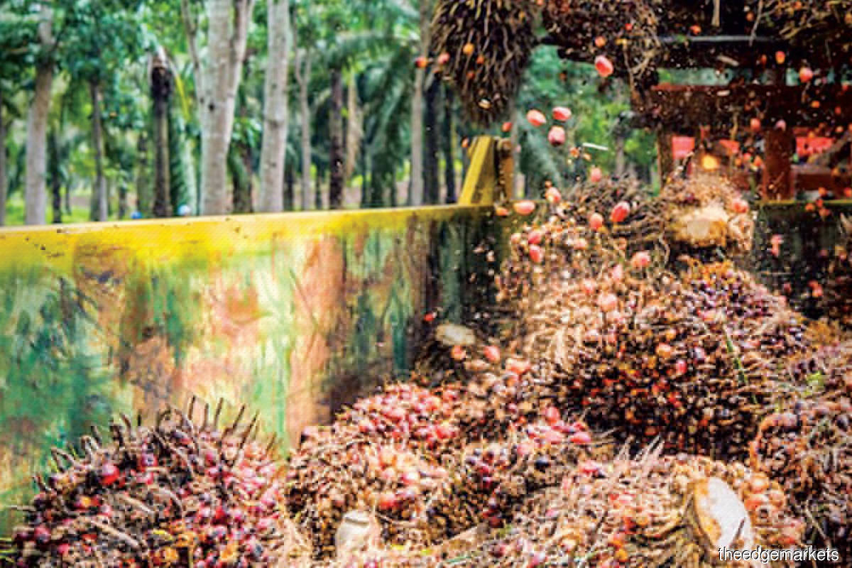 Crude palm oil prices have been strengthening lately, having breached the RM4,000 per tonne mark for the first time since 2008, which should augur well for FGV's earnings (Photo by FGV)