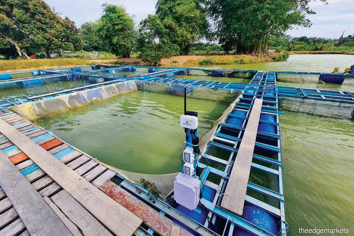 Agromon, Wondernica's smart agriculture  IoT device ... Aquaculture players use it to monitor water quality, dissolved oxygen and PH levels to ensure the shrimp or fish can survive. (Photo by Singularity Aerotech Asia)