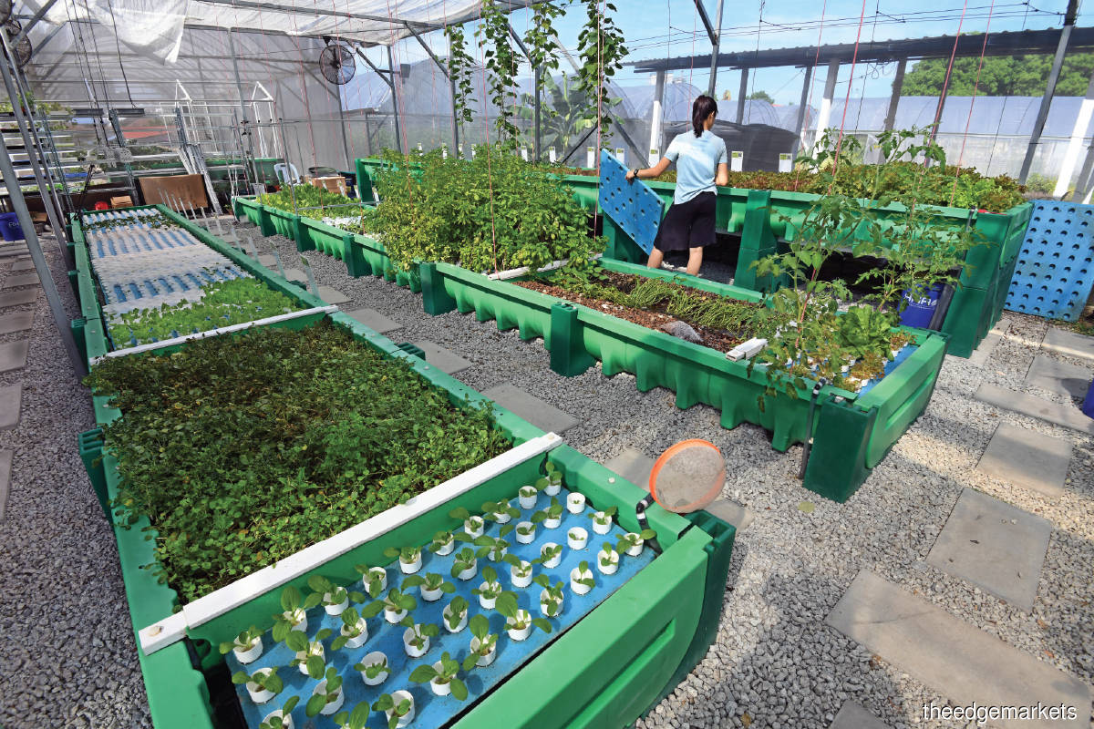 Subscribers can buy modular aquaponics plots and decide what they would like to have grown. Farmers use a combination of sensors and AI to monitor and grow the produce. (Photo by Mohd Shahrin Yahya/The Edge)