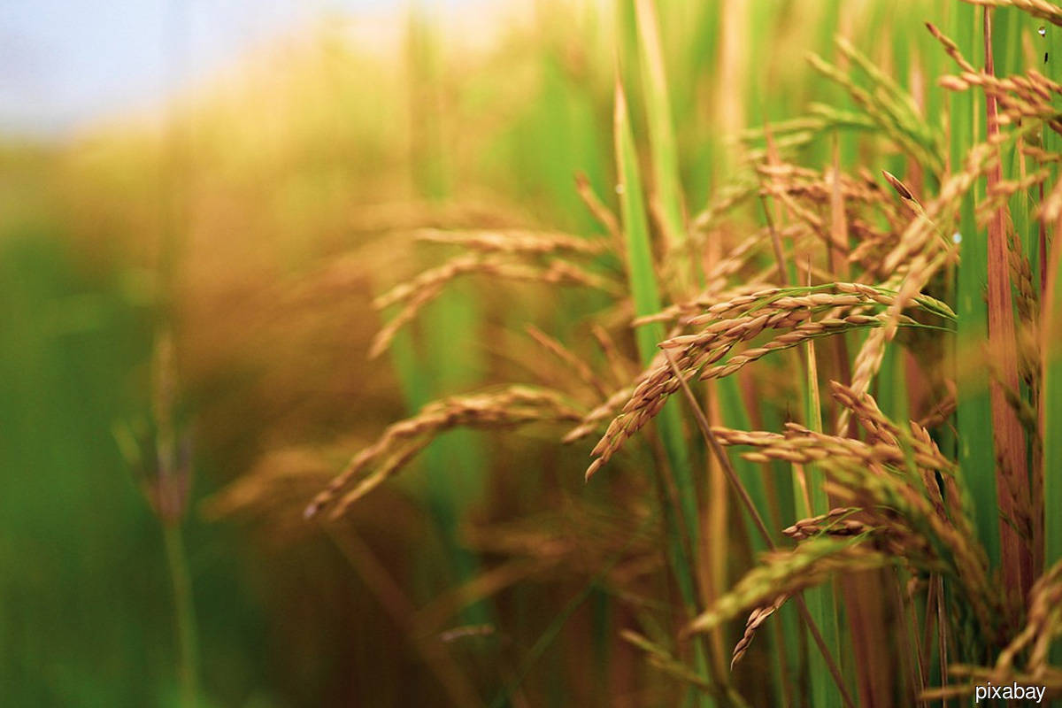 Climate change putting national rice security at risk — minister