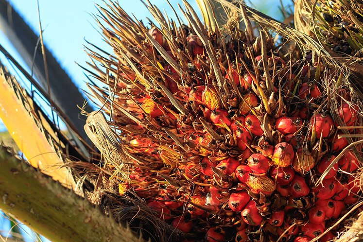 Palm oil biased to rise into RM2,655-2,701 range