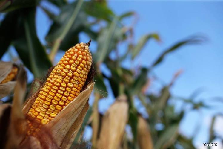 Grains: Corn ticks down as market weighs big acreage, lower stocks