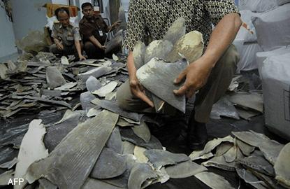 Crew finds major shark fin industry in Sabah despite Putrajaya's denial