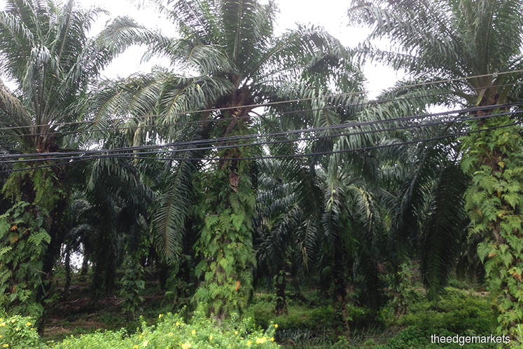 Plantation stocks higher in early trade on expectations of lower palm oil inventory