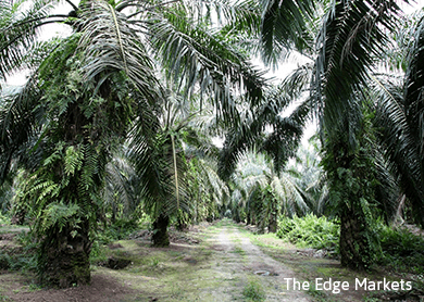 Plantation stocks rise as CPO price rises on possible output decline
