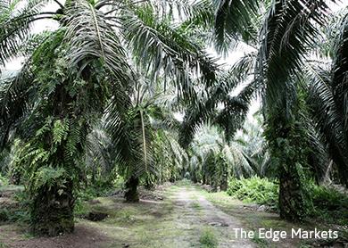 Weaker 3Q profit seen for Malaysian plantation firms - CIMB