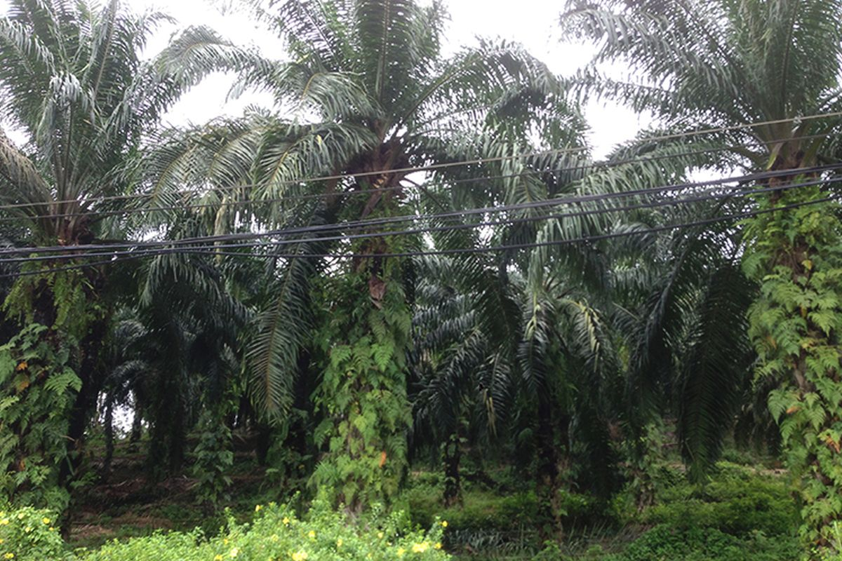 Oil palm plantations in Sabah return to full capacity after restrictions lifted