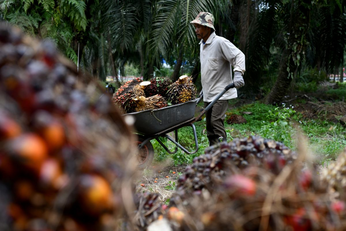 Opimis scheme helps to ease oil palm plantations' labour woes — MPOB