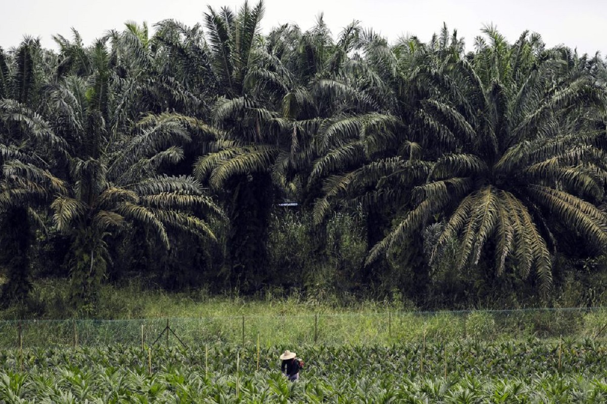 Malaysian planters will have thinner margins in Indonesia if higher levy imposed there