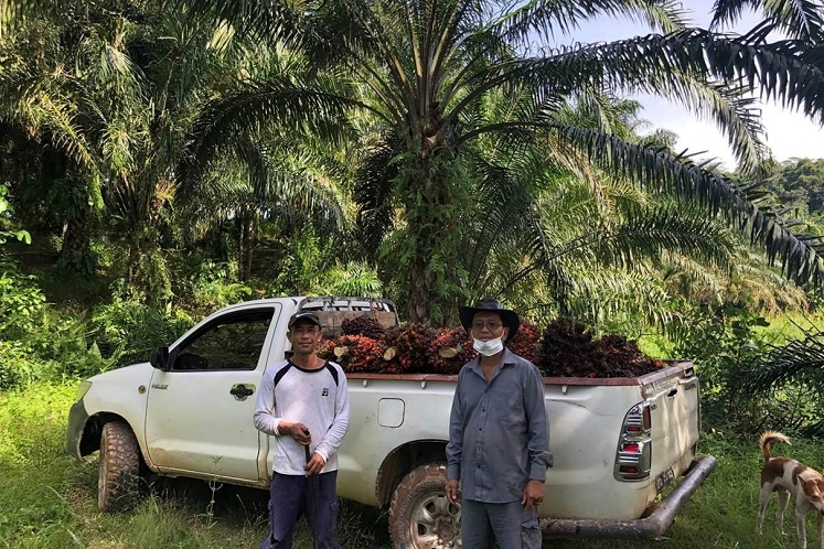 Small oil palm farmers face survival crisis in risk to future output