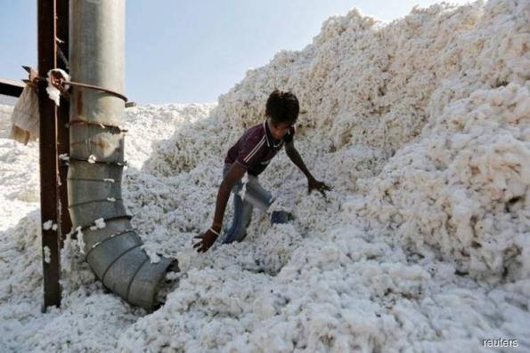 India cotton exports to drop as pink bollworms eat crop
