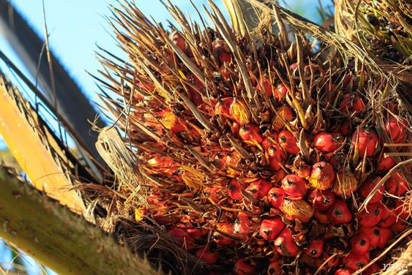 Palm oil charts sharpest daily drop in nearly two weeks