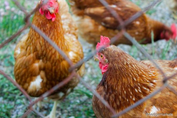 Malaysia to clarify bird flu outbreak to Indonesia following poultry ban