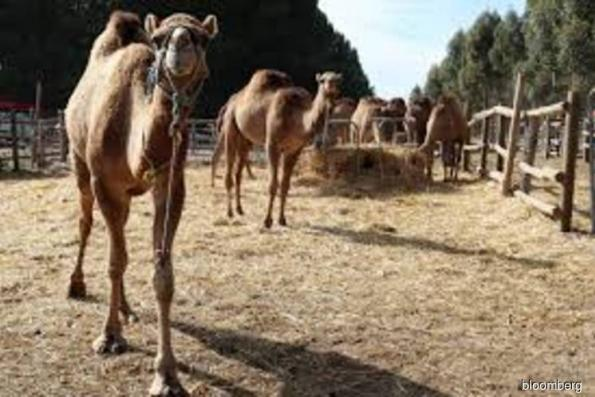 Got camel milk? This ex-BHP engineer is ready to supply it
