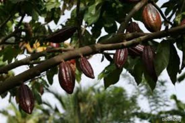 Malaysia 4Q cocoa grindings rose 3.7% y-o-y: Cocoa Board