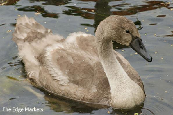 Grey swans emerge globally with the dawn of a Trump era