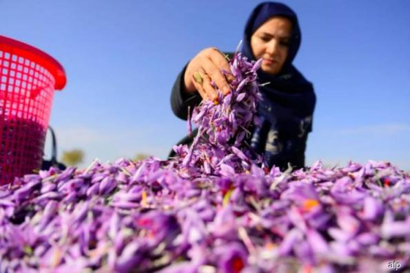 Afghanistan saffron production grows