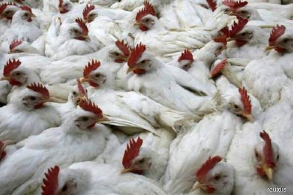 Indonesia bans imports of fresh poultry, products from Malaysia