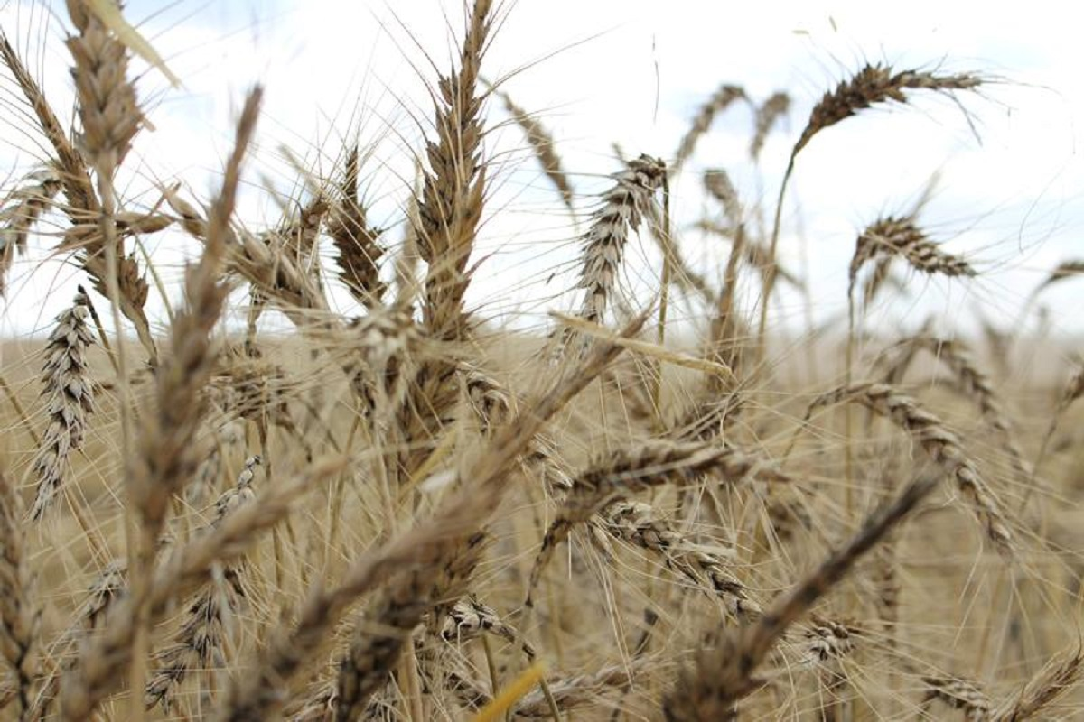 Wheat supplies are shrinking and it's bad news for bread prices