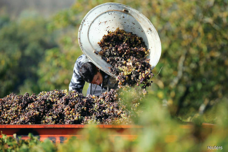 worker harvest grapes 20190207114616 reuters jpg?null.'