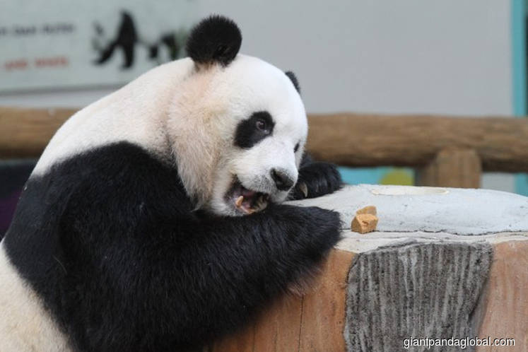 Pandas a gift from China, we are not returning them, says Dr Mahathir